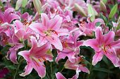 Blossoming Pink Lilies In The Garden