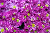 Magenta Asters Lawn. Shallow Depth Of Field.