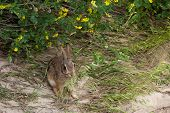 image of wild-rabbit  - A wild jack rabbit sits under the brush and eats some tall grass - JPG