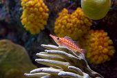 picture of hawkfish  - A vibrant longnose hawkfish perched on coral - JPG