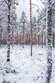 Winter Scenery From Forest