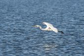 Great Egret With Fish