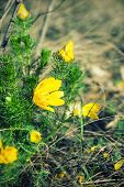 picture of adonis  - Blossoming of wild yellow adonis flower in nature - JPG