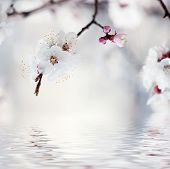 pic of apricot  - Apricot tree flower with water reflection - JPG