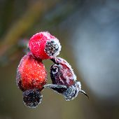 Rose Hips With Rime Frost