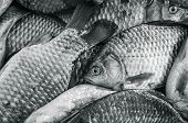 Bream Close-up. Black And White Photo, Toning