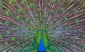 stock photo of fowl  - Peacock showing his majestic tail during the mating season - JPG