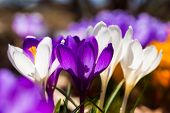 The springtime sun shining through a group of crocus flowers in the home garden.