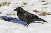 Carrion Crow Is Sitting On The Snow Winter Day