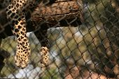 Leopard (Panthera pardus) in its enclosure at zoo.