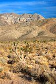 Joshua Trees (Yucca brevifolia) Nevada