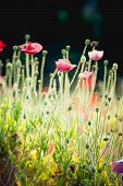 stock photo of opium  - Opium poppy flower at angkhang mountain Thailand - JPG