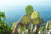 Colorful prickly pear cactus with sharp needles grows along the coastline of Laguna Beach, California.
