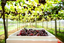 picture of grape  - fresh Grape wait for harvest Grape Farm Tak  - JPG