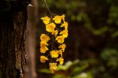 picture of yellow orchid  - Yellow Honey fragrant orchid  - JPG