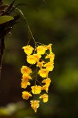 pic of yellow orchid  - Yellow Honey fragrant orchid  - JPG