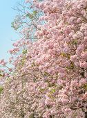 pic of trumpet flower  - Pink flower of Trumpet or Tabebuia tree in full bloom - JPG