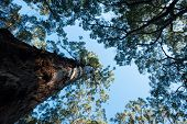 picture of canopy  - Looking up trunk into the high canopy of Karri  - JPG