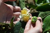pic of fetus  - green tea plant flower and fetus on the plant in woman hands - JPG
