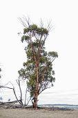stock photo of eucalyptus trees  - Single old wandoo tree  - JPG