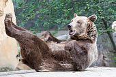 Brauner Bär spielt