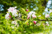 pic of bud  - Closeup of blossoms and buds of a crabapple tree in the early spring season - JPG