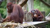 stock photo of orangutan  - Adult orangutan sitting with sad and thoughtful face - JPG