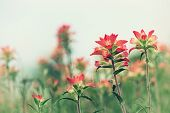 picture of wildflower  - Indian Paintbrush wildflowers blooming on the spring meadow vintage filter effects - JPG