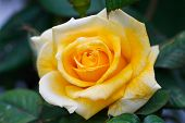 pic of yellow rose  - Yellow rose with green background - JPG