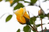 picture of yellow rose  - Yellow rose with sky background - JPG