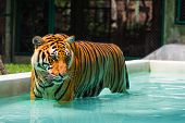 picture of tigress  - Indochinese tiger in pool standing and intently watching on something - JPG