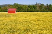 stock photo of red barn  - a red metal barn in a field of yellow buttercups - JPG