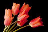 A Spray of Tulips
