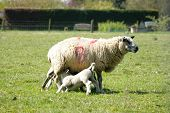pic of spring lambs  - Spring lambs feeding with the mother sheep - JPG