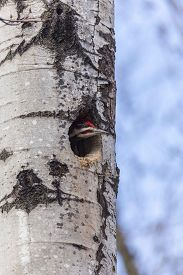 stock photo of woodpecker  - A female Woodpecker in a tree building a nest - JPG