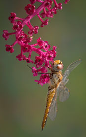 foto of pokeweed  - A dragonfly is hanging from a branch of pokeweed - JPG