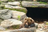 Bear Sleeping Outside Cave