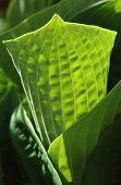 Spring Hosta Leaf
