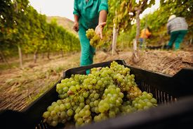 stock photo of grape  - Farm worker filling basket of green grapes in the vineyards during the grape harvest - JPG