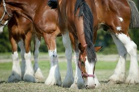 pic of big horse  - The clydesdales horses grazing on the pasture - JPG