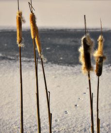 pic of cattail  - cattail in the winter in a frozen pond - JPG