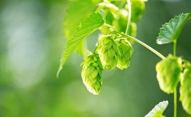 foto of brew  - Hop plant close up growing on a Hop farm - JPG