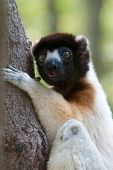 A Cute Crowned Sifaka