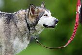 Purebred Alaskan Malamute Dog Outdoors In Nature poster