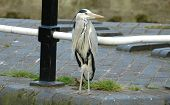 Grey Heron Looking To Its Left poster