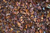 foto of beechnut  - mixture of leaves and textures including beech nuts - JPG