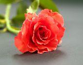 Red Rose Closup