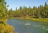 Ponderosa Pine, On Hillside Above The  River