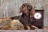purebred dachshund dog poster