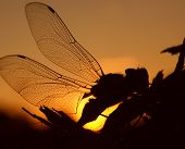 Profile Of A Dragonfly In Golden Sunlight